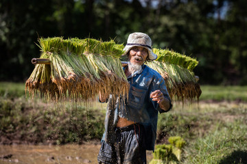 Thai farmer grow rice in the rainy season. He is carring the rice sprouts on the shoulder.they are soaked with water and mud to be prepared for planting. wait three months to harvest crops.