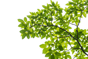 Wall Mural - Green leaf isolated on white background, This has clipping path.