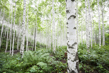 White birch trees in the forest in summer  Wall mural