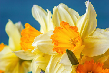 Fresh spring yellow narcissus flowers on blue background. Selective focus.