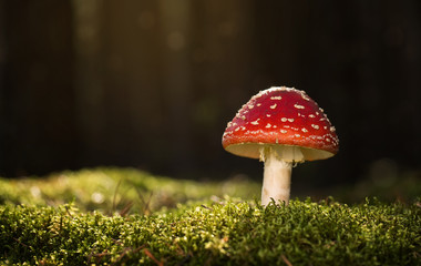 Toadstool, close up of a poisonous mushroom in the forest