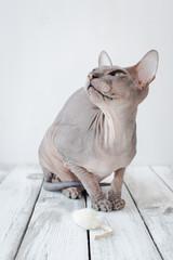 cute cat sphinx
