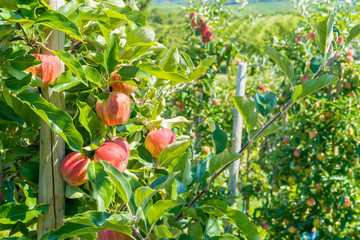 Rote, reife Äpfel am Apfelbaum