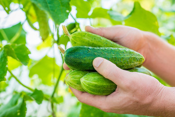 Man holds in the hands fresh cucumbers. Hothouse, summer sunny day.