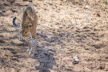 Leopard walking in the sand in the Kruger.