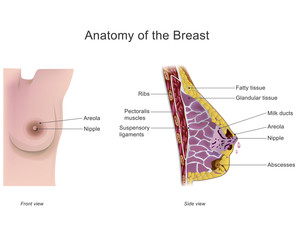 The breast is one of two prominences found on the upper ventral region of the torso of female and male primates. In females, it serves as the mammary gland.