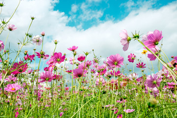 Cosmos flower white pink color in field blue sky