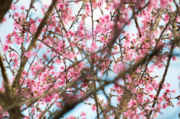 himalayan cherry tree pink bloom flower soft and blur