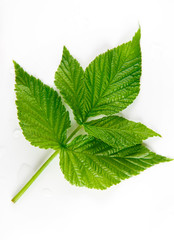 Green raspberry leaf closeup, top view isolated