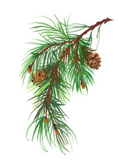 Watercolor coniferous branch with pine cones.