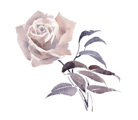 Watercolor garden rose isolated on white background.