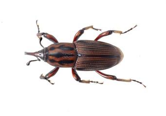 Sphenophorus