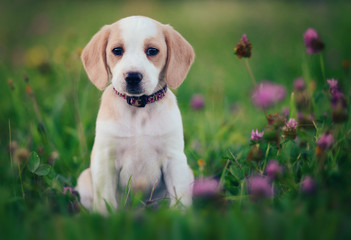 Cute beagle dog puppy