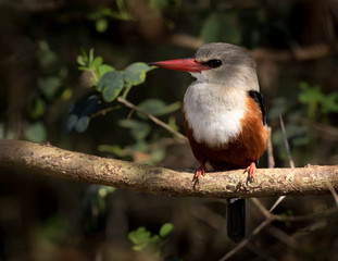 Wall Mural - Grey headed Kingfisher perched on a branch.