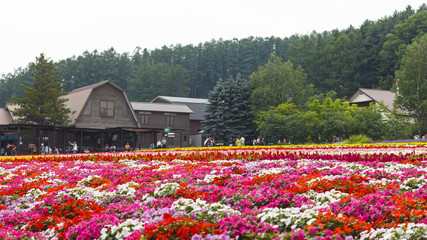 Furano, Hokkaido, Japan – July 30, 2015: Various colorful flowers fields in front of greenhouse and many tourists in the background at Tomita Farm, a famous tourist attraction of Furano, Hokkaido.