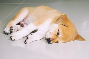 Puppy Lying on Granite Floor, Sleeping Dog