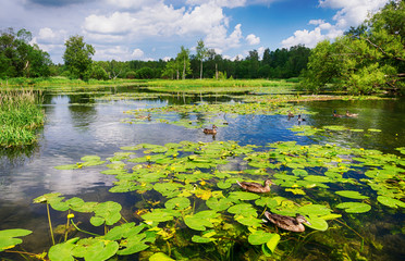 Wall Murals Water lilies Landscape, a lake with blooming water lilies
