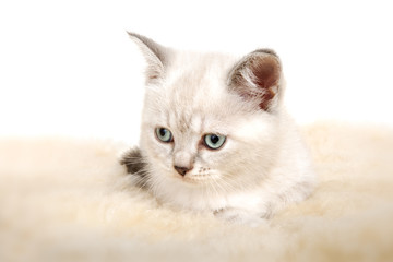 Portrait of British Shorthair Kitten sitting, color point color.