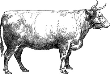 Vintage image cow