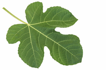 One fig leaf isolated on white background