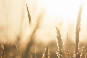 Grass sunset  bokeh