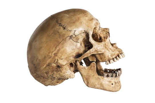 side of skull model in open the mouth pose isolated on white background