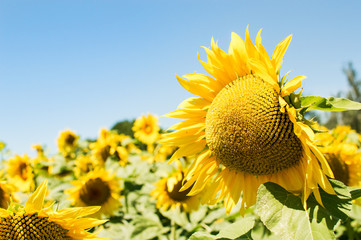 Sunflower flowers on a sunny day