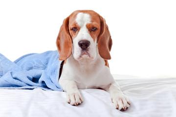 Beagle under the blue blanket , isolated on white