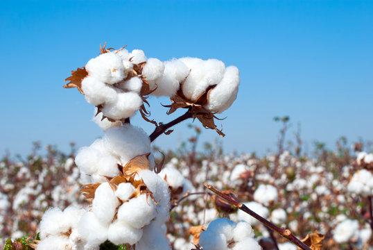 Branch of ripe cotton