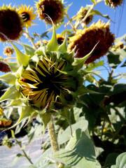 sunflower, Circle , Leaf, Sunflower, Garden, Agriculture, Flora, Bloom , Flower, Head , Natural , yellow , vibrant , green frame , beautiful , beauty , summer, sunflower , field, nature ,