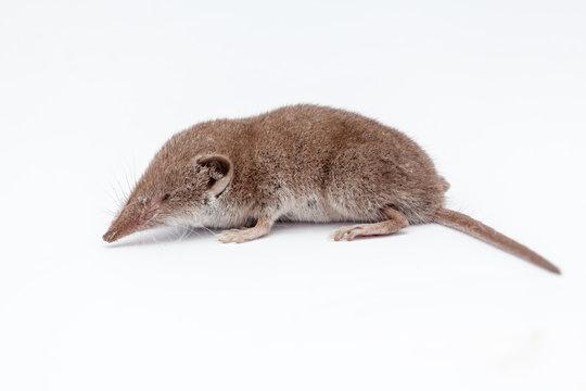 an small shrew