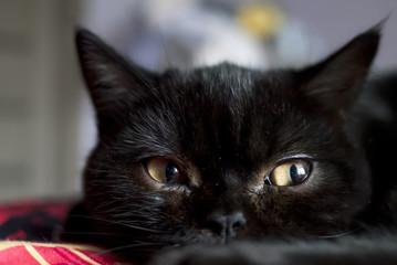 Portrait of young black scottish kitten in dark room