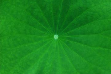 lotus leaf texture