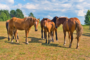 Wall Mural - Herd of thoroughbred Russian trotters on a pasture.