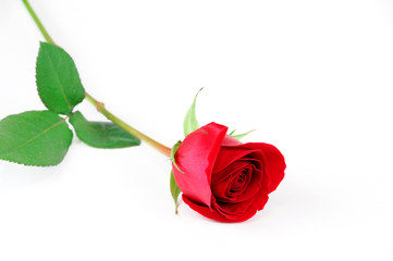 Fototapete - single rose laying on white background