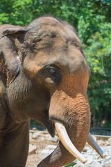 closeup elephant in farm of Thailand