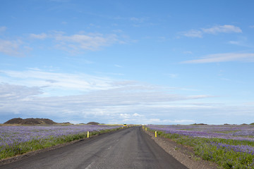 Road between lupines in Iceland