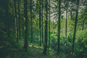 Tall pine trees in a green forest