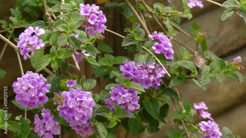 Lantana Montevidensis Is A Species Of Lantana Known By Many Common