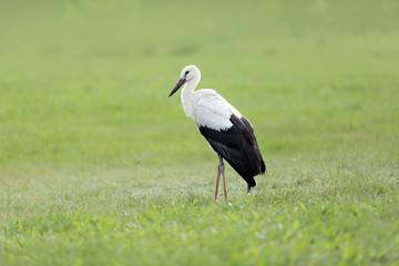 stork on a grass