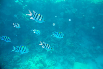 coral reef of the red sea