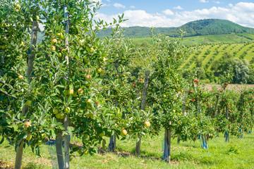Apfelbaum Plantage