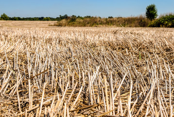 Drought at wheat field