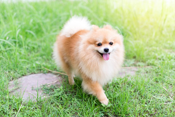 Pomeranian dog running around the lawn, happy, cheerful, vintage