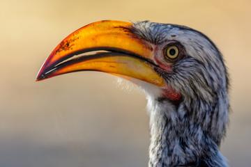 Southern yellow-billed hornbill (Tockus leucomelas) portrait. Central Kalahari Game Reserve. Botswana