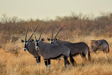 Gemsbok or gemsbuck (Oryx gazella) herd. Central Kalahari Game Reserve. Botswana