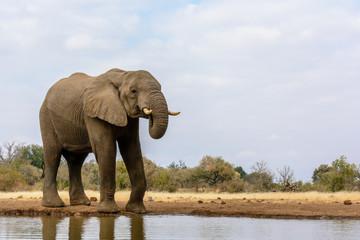 African Bush Elephant (Loxodonta africana) drinking. Mashatu Game Reserve. Northern Tuli Game Reserve.  Botswana