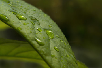 Drop of water on a green leaf in the forest