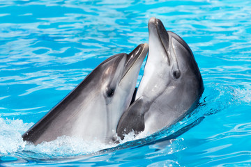 two dolphins dancing in the pool