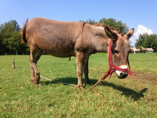 Photograph of grey donkey in field